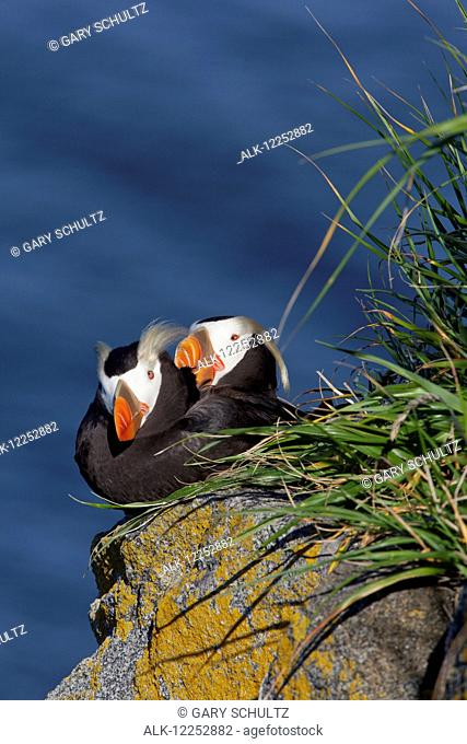 Pair of Tufted Puffins (Fratercula cirrhata) preening on a lichen covered boulder in afternoon sunshine, Walrus Islands State Game Sanctuary, Round Island