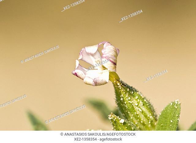 Catchfly - Silene succulenta subsp. succulenta, Crete