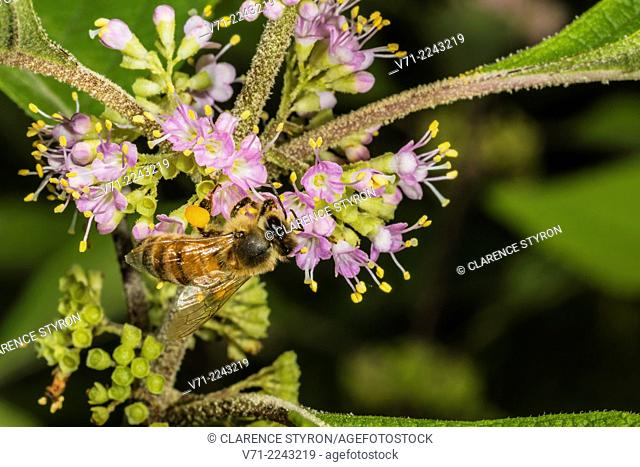 Mining Bee (Andrena carolina) Feeding on Beauty Berry (Callicarpa americana) Flower