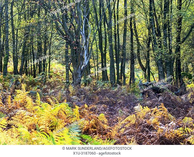 Autumn birch trees and bracken in Guisecliff Wood Pateley Bridge North Yorkshire England