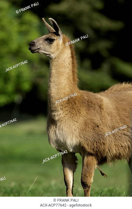 Llama, Lama glama, Standing in meadow Palouse,Wash, USA