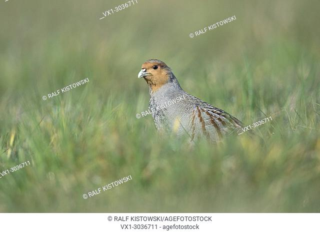 Grey Partridge / Rebhuhn ( Perdix perdix ), walking, sneaking through a meadow, watching carefully, rare bird of open fields and farmland, wildlife Europe