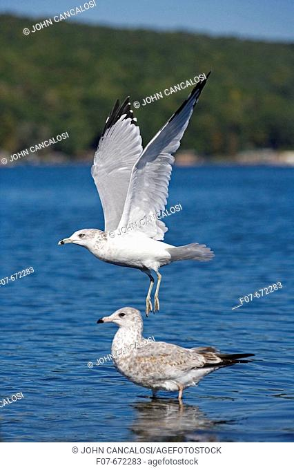 Ring-billed Gull (Larus delawarensis). New York. USA. Adult taking off from lake. Juvenile in the backgroundMost commonly seen gull. Especially inland