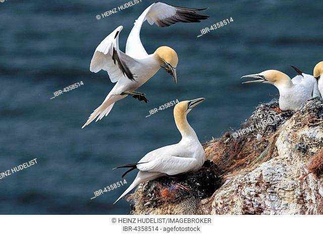 Northern Gannet (Morus bassanus), approach to nest with nesting material, Heligoland, Schleswig-Holstein, Germany