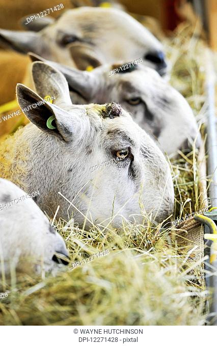 Blue Faced Leicester sheep eating hay out of a rack; United Kingdom