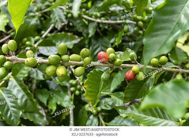 Naalehu, Hawaii - Coffee growing at Paradise Meadows Orchard & Bee Farm on Hawaii's Big Island