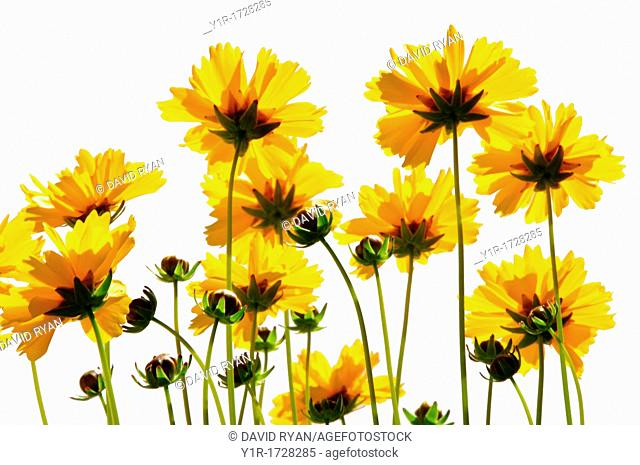 Backlit Coreopsis flowers