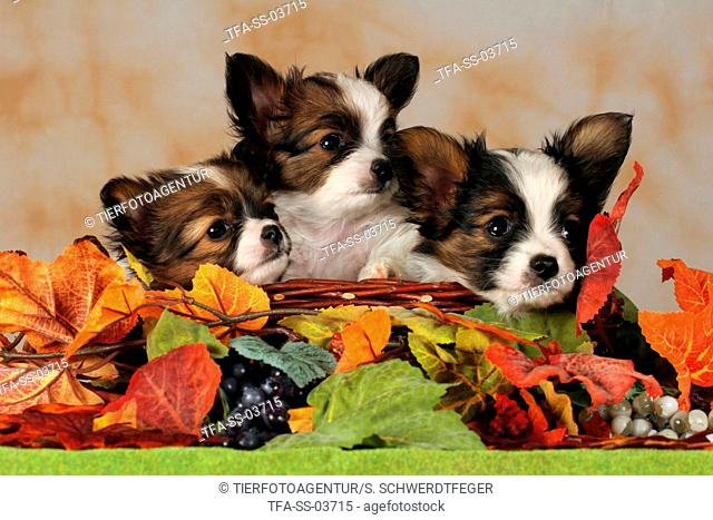 Papillon Puppies in basket