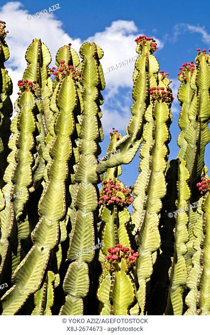 Euphorbia, Eritrea