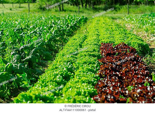 Lettuces growing on farm