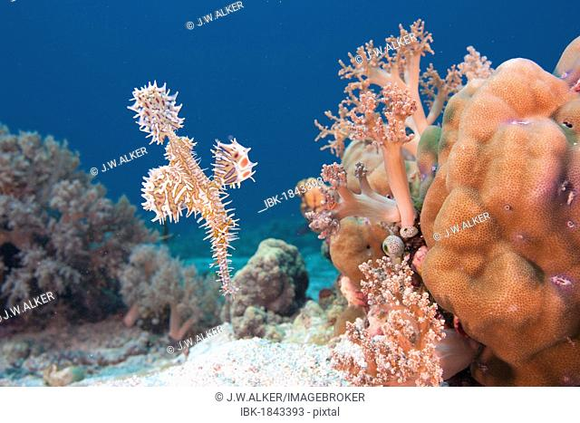 Harlequin ghost pipefish (Solenostomus paradoxus), Leyte, Philippines, Pacific Ocean, Southeast Asia