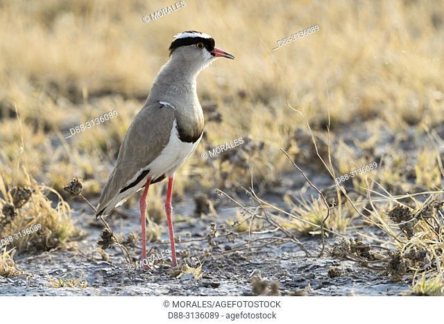 Africa, Southern Africa, Bostwana, Nxai pan national park, Crowned Lapwing (Vanellus coronatus)