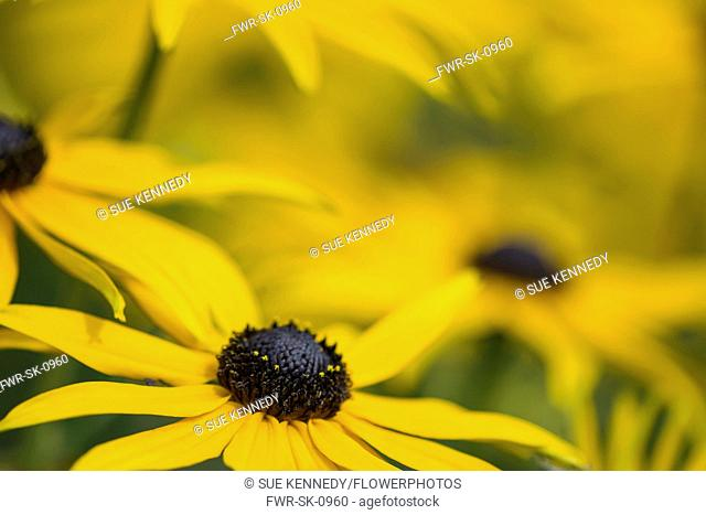 Coneflower, Black-eyed Susan, Rudbeckia, Close up of yellow flower growing outdoor