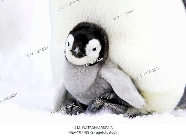 Emperor Penguin - chick sheltering on adult's feet (Aptenodytes forsteri)