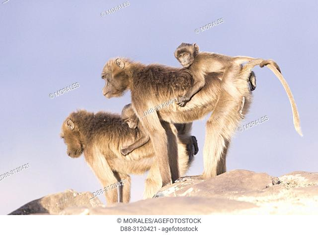 Africa, Ethiopia, Rift Valley, Debre Libanos, Gelada or Gelada baboon (Theropithecus gelada), adult female with a baby