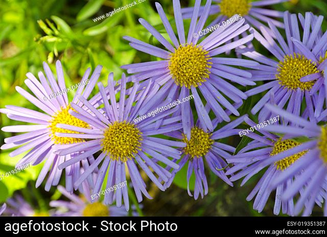 Aster (Aster amellus)