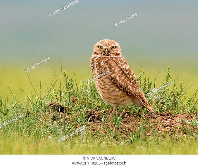 A Burrowing Owl, Athene cunicularia , at its burrow at Grasslands National Park, Saskatchewan