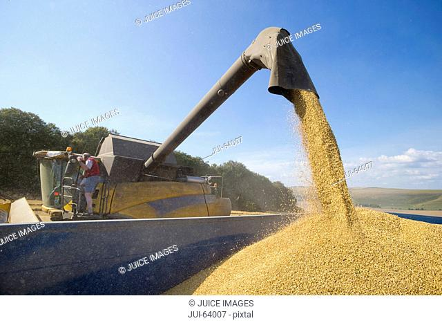 Combine harvester, harvesting wheat into trailer, in sunny rural field