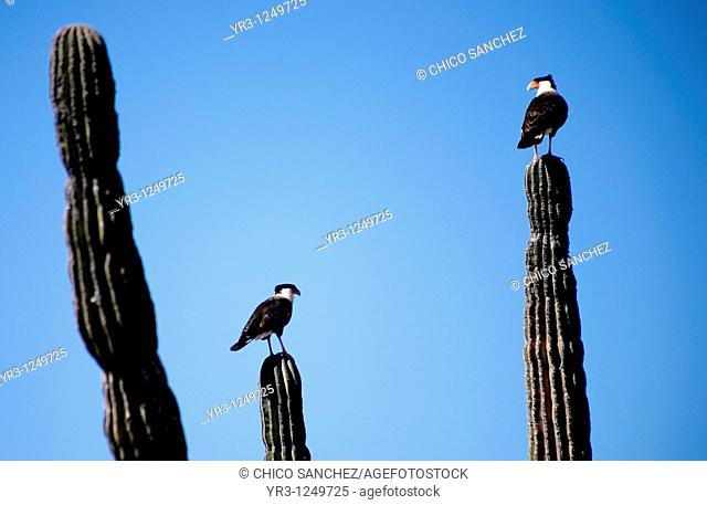 Two Crested Caracaras, also known as Mexican Eagles, perch on cactus in the desert in Mexico's southern Baja California state