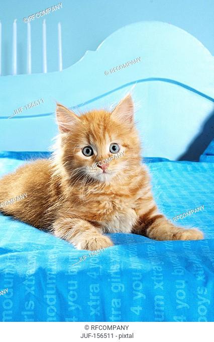 Siberian Forest cat - kitten lying on a bed
