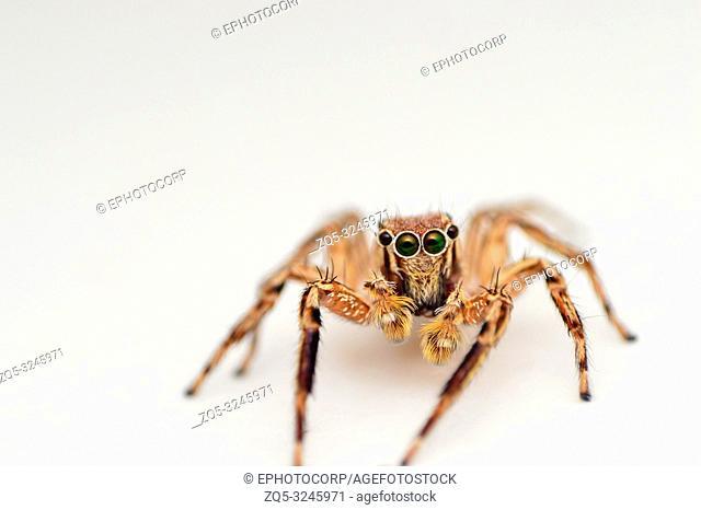 Front view of male jumping spider, Plexippus petersi, Satara, Maharashtra, India