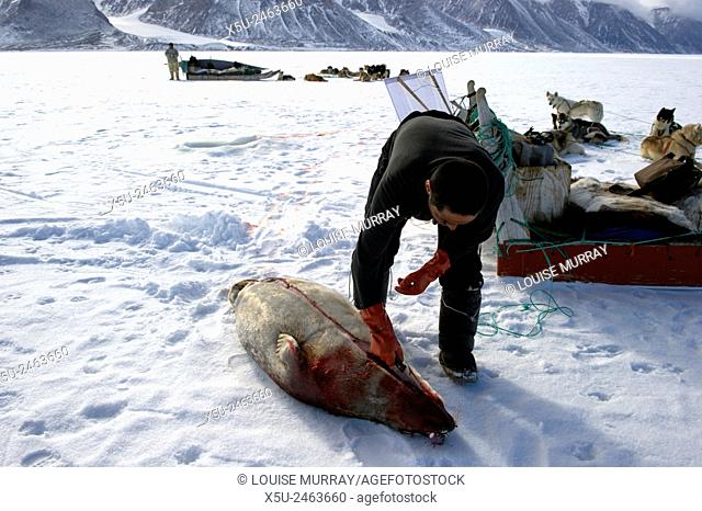 Subsistence hunter with recently killed ringed seal and dog team on the sea ice. The man and his dogs will eat the seal. Gedion Kristiansen