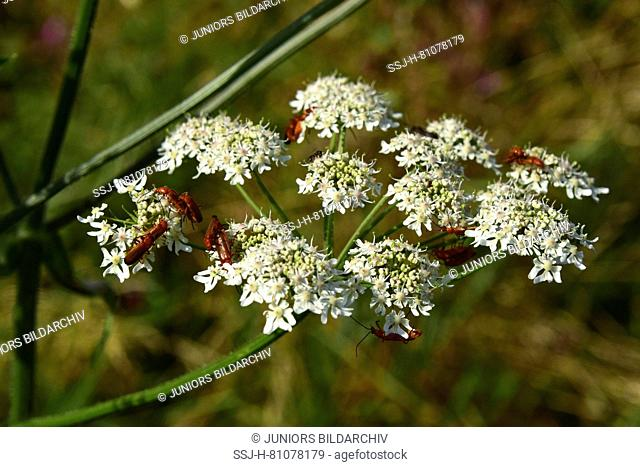 Common Hogweed (Heracleum sphondylium). Umbel with pollinating insects. Germany