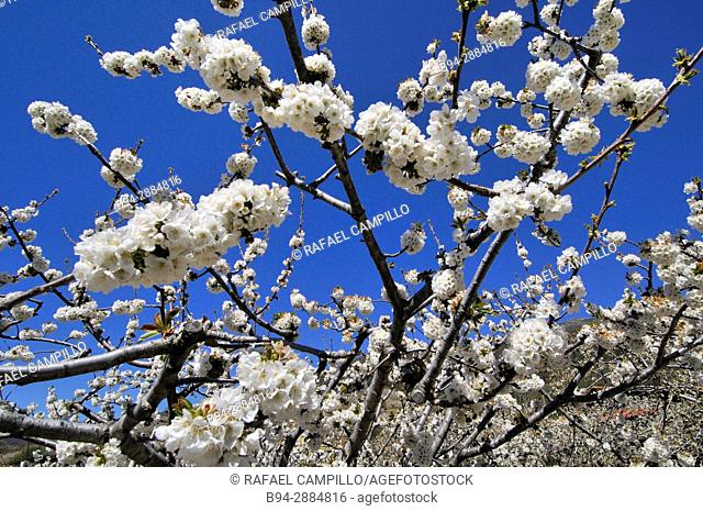 Cherry blossoms trees. Jerte valley. Caceres. Extremadura. Spain
