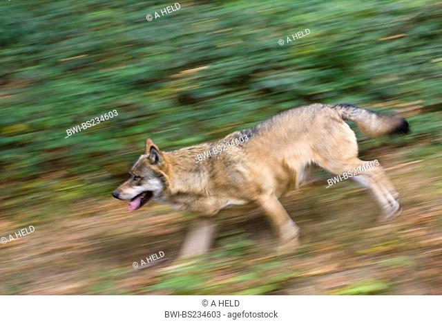 European gray wolf Canis lupus lupus, running through the forest, Germany, Bavaria, Bavarian Forest National Park