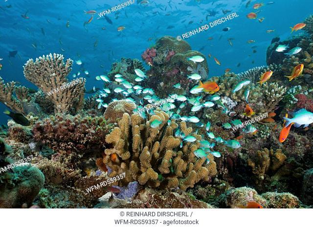 Schooling Chromis, Chromis viridis, North Ari Atoll, Maldives