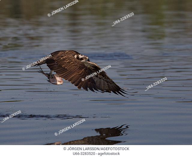 Osprey Pandion haliaetus with catch Eskilstuna Sodermanland Sweden