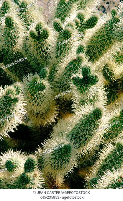 Buckhorn Cholla (Opuntia acanthocarpa). Anza Borrego Desert State Park. California. USA