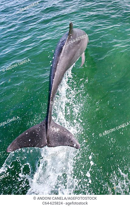 Bottlenosed dolphin (Tursiops truncatus). Baja California. Mexico
