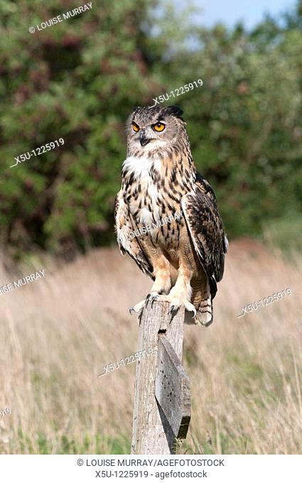 Eurasian eagle owl, one of the largest owls in the world, is now breeding in the UK  Usual prey is mice, rats, moles, small rabbits