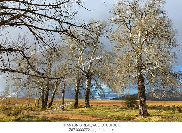 White poplars (Populus alba). Almansa. Albacete province, Castile-La Mancha, Spain