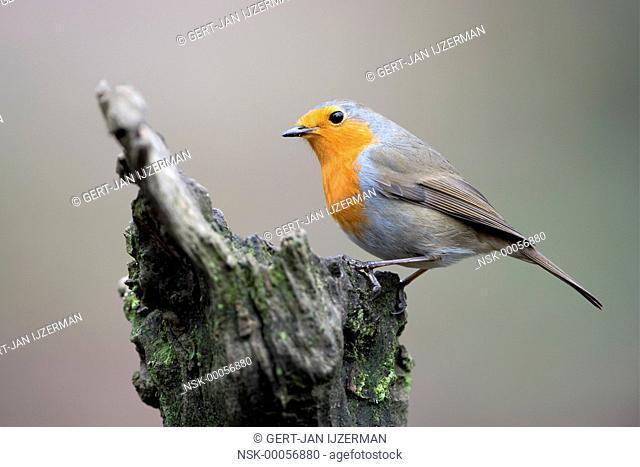 Eurasian Robin (Erithacus rubecula) perched on a tree stump, The Netherlands, Gelderland, Veluwe