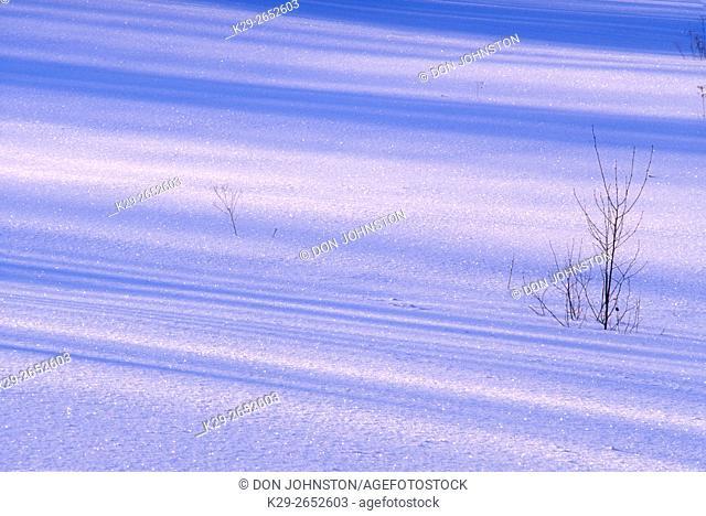 Shadows on snow with protruding saplings, , Ontario, Canada