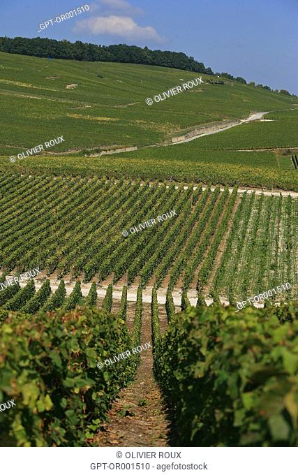 VINEYARDS BETWEEN VERTUS AND LE MESNIL SUR OGER, MARNE (51), CHAMPAGNE-ARDENNE, FRANCE