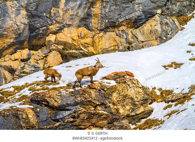 Alpine ibex (Capra ibex, Capra ibex ibex), female ibex with young animal standing in the mountains on a snow-covered rocky ridge , Switzerland, Grisons