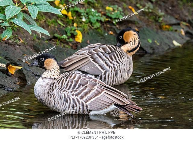 Hawaiian goose / n?n? / nene (Branta sandvicensis) endemic to the Hawaiian Islands