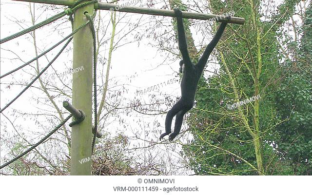 White-Cheeked Gibbon swinging from wooden posts and ropes with trees behind