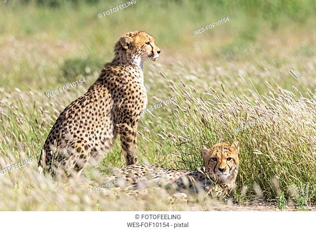 Botswana, Kgalagadi Transfrontier Park, Cheetahs, Acinonyx Jubatus
