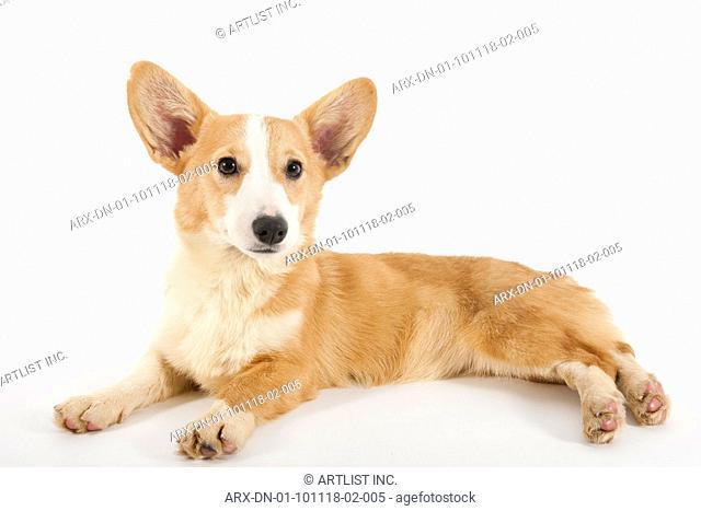 A laying dog