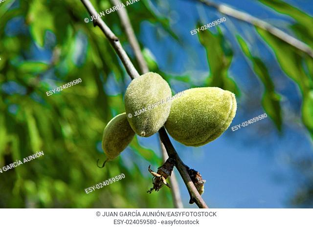 Closeup of a branch of wild almond tree with some green almonds , Alor Mountain Range, Extremadura, Spain