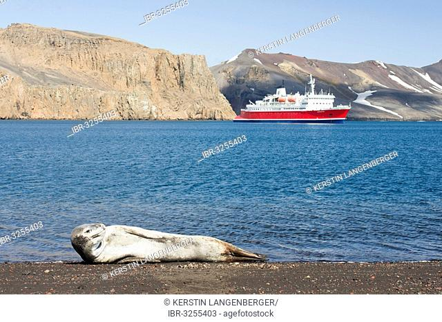Leopard Seal (Hydrurga leptonyx), female, resting on a beach, expedition cruise ship MS Expedition at the rear