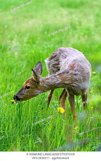 Roe Deer, Capreolus capreolus, Springtime, Germany, Europe