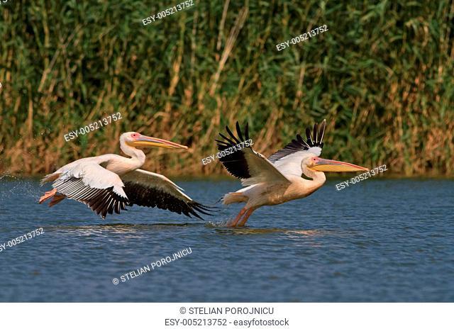 white pelicans in flight