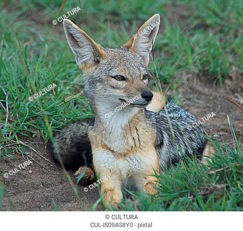 Black-backed jackal (Canis mesomelas), Tanzania