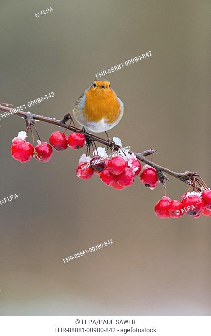 European Robin (Erithacus rubecula) adult, perched on snow covered crab apple branch, Suffolk, England, UK, February