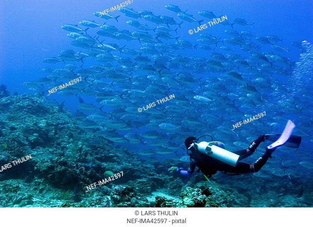 Diver and jack-fishes